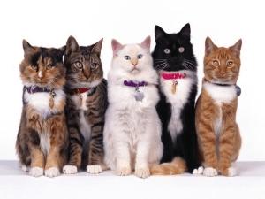 Кошачьи ошейники
