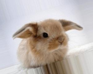 Клещ у кроликов