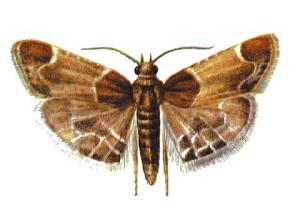 Общие сведения о моли: размножение, питание, вред от насекомого