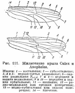 Строение крыльев комара