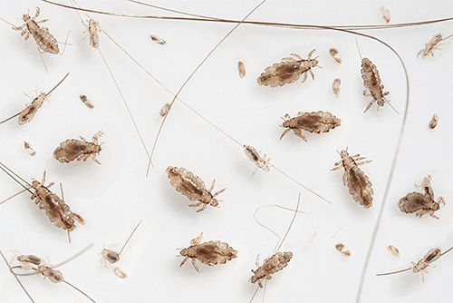 как избавиться от паразитов в члене