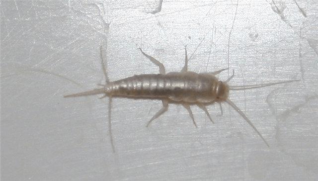 фото жук мокрица