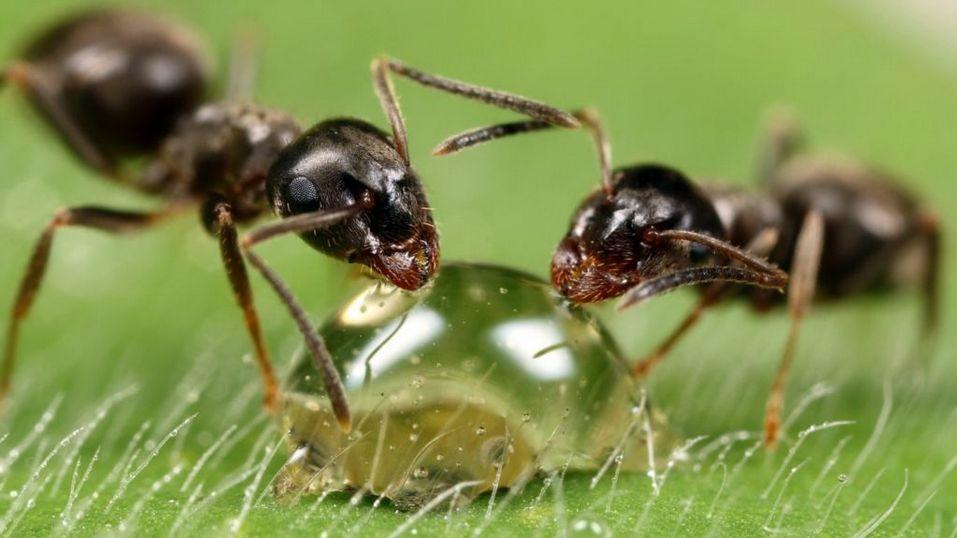 Размножение лесных муравьёв
