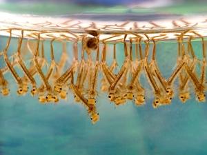 как выглядит личинка комара фото