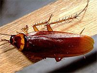 Рыжие тараканы: особенности образа жизни