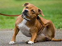 Причины зуда у собак при отсутствии блох