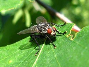 Внешний вид мухи капустной