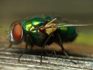 Фото навозной мухи