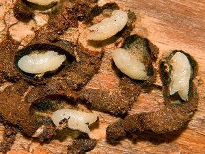 Личинки жука-типографа