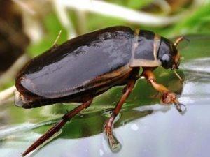 Фото жука-плавунца