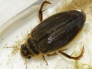 Выловленный жук-плавунец