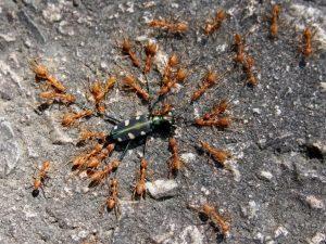 Уничтожение добычи муравьями