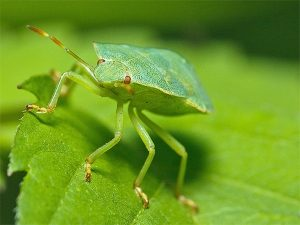 Щитник на зеленом листе