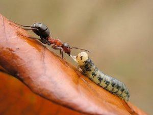 Поедание гусеницы