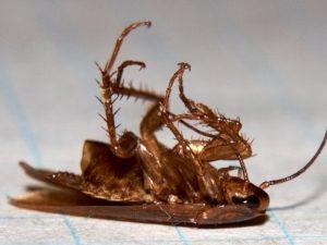 Гибель парализованного насекомого