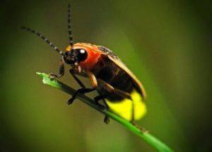 Светящееся насекомое
