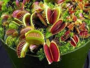 Вазон с плотоядными растениями