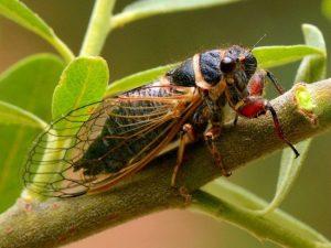 Цикада – насекомое с прекрасным голосом