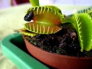 От назойливых вредителей поможет избавиться цветок, который ест насекомых