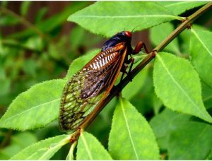 Цикады-вредители
