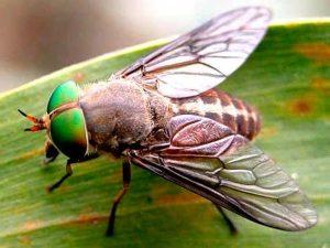 Овод: обычная муха или опасный паразит