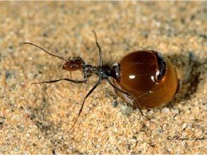 Внешний вид медовых муравьев