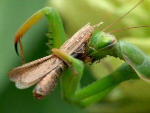 Питание насекомого богомола