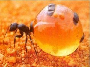 Бочка медовых муравьев