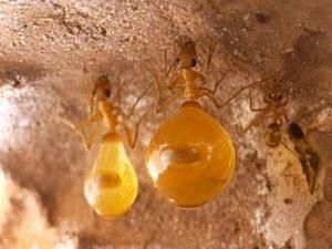 Медовые муравьи – живые карамельки