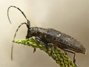 Как обезопасить дачный участок от жуков-стригунов