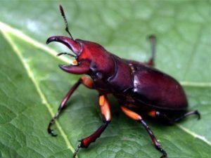Удивительный мир насекомых: отряд жесткокрылые