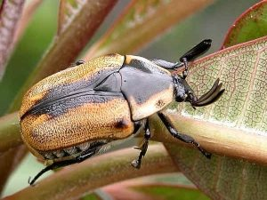 Жук Coleoptera