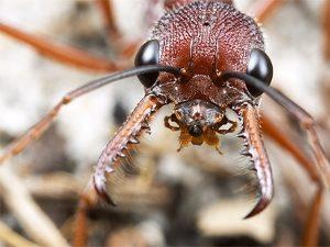 Макросъемка муравья-бульдога