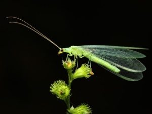 Златоглазки – естественные враги насекомых-вредителей