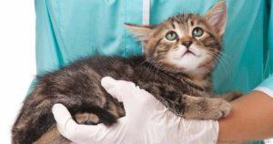 Блошиный дерматит у кошек причины и симптомы фото