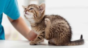 Аллергия на блох у кошек фото