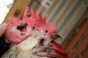 Блохи куриные – как избавиться от паразитов