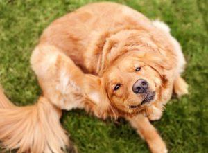 Как вывести у щенка блох в домашних условиях фото