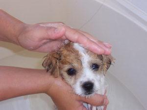 Как избавить щенка от блох в домашних условиях в 1 месяц фото
