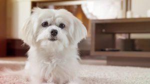 Блошиный дерматит у собак фото