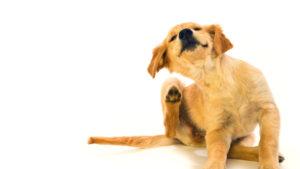 Блошиный дерматит у собак: лечение, симптомы