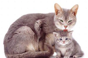 Что будет, если кошка слижет капли от блох?