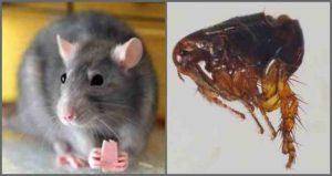 Крысиные блохи, симптомы укуса человека фото