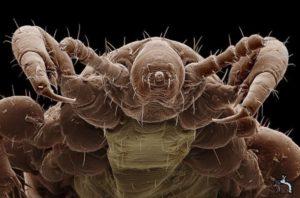 Блоха под микроскопом – фото, строение, тело