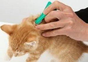 Через сколько действуют капли от блох для кошек