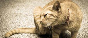 Как часто можно наносить капли от блох для кошек. Как их выбирать. Фото
