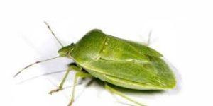 Чем опасен клоп-вонючка, как вывести жука-вонючку, фото