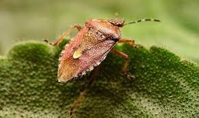 Как выглядит жук вонючка, описание, особенности, фото
